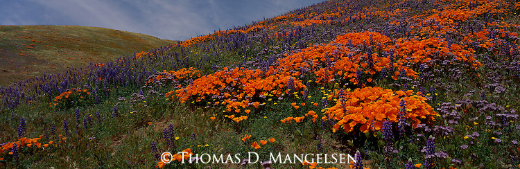 Copious winter rains in the rolling grasslands of California give birth to springtime displays of poppy and lupine in the Tehachapi Mountains.