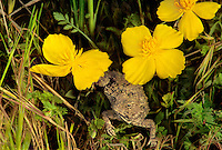 414180004 a wild coast horned lizard phryrosoma cornatum sits among wild grasses and bush poppy wildflowers in the santa monica mountains national recreation area in southern california