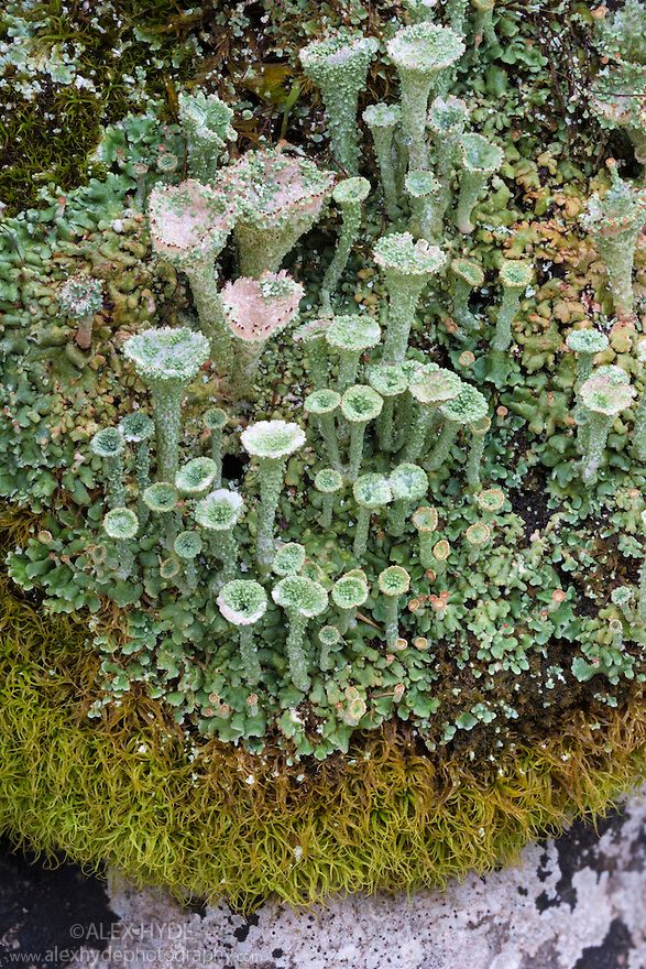 Pixie Cup Lichen {Cladonia sp.} with fruiting bodies. Peak District National Park, Derbyshire, UK. January.