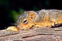Baby eastern fox squirrel, Sciurus carolinensis, opens his eyes from his nap on a branch and sees a yellow wooly caterpillar at the end of his nose.