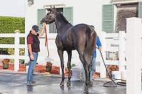 HALLANDALE BEACH, FL - JANUARY 27: Arrogate and assistant trainer Jimmie Barnes in the wash rack at Gulfstream Park. (Photo by Arron Haggart/Eclipse Sportswire/Getty Images