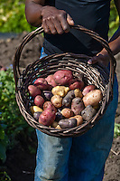 Purple, red, yellow and pink heirloom potatoes in a basket held by the gardener.