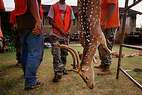 Hunters shot several elusive Axis deer on opening day of the hunting season on the island of Lanai. Axis deer were a royal gift to the islands in 1868 islands from Hong Kong. Five were brought to Maui in 1959 for hunting and now there are 10,000 deer eating their way through Hawaii's native plants. They are on several islands and proliferating without having predators. <br /> Opinions are sharply divided on managing axis deer. <br /> On one hand, they have built a fence around endangered plants on Haleakala National Park to protect them from the deer. They are hunting to eradicate all deer within the fenced area. <br /> On the other hand, people come to Hawaii to hunt axis deer. It is a source of income for people on the island of Lanai who also enjoy the sport of hunting the small illusive deer that <br /> never loses its spots.