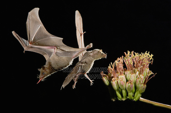 Lesser Long-nosed Bat, Leptonycteris curasoae, two adults in flight at night feeding on Agave blossom (Agave spp.),Tucson, Arizona, USA