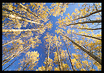 Aspens, New Mexico