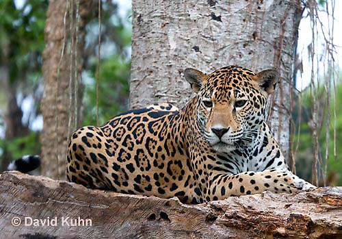 0522-1112  Goldman's Jaguar, Belize, Panthera onca goldmani  © David Kuhn/Dwight Kuhn Photography