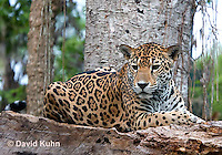 0522-1112  Goldman's Jaguar, Belize, Panthera onca goldmani  © David Kuhn/Dwight Kuhn Photography