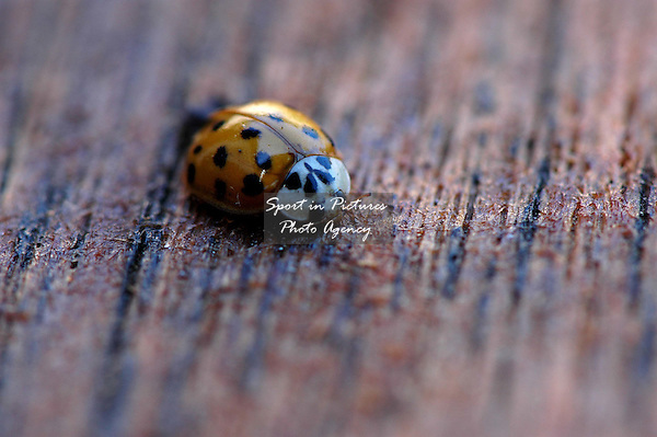 A Harlequin Ladybird on a garden table in the UK