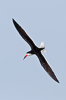Black Skimmer