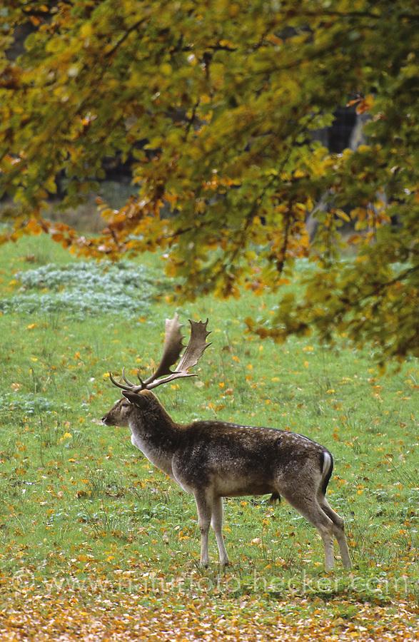 Damhirsch, Dam-Hirsch, Damwild, Hirsch, Männchen, Dam-Wild, Cervus dama, Dama dama, fallow deer