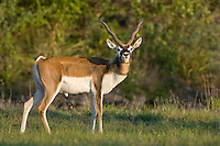 610800001 a captive black buck antilope cervicapra stares at the camera from an open field on a hunting ranch in the texas hill country texas species is endangered in the wild