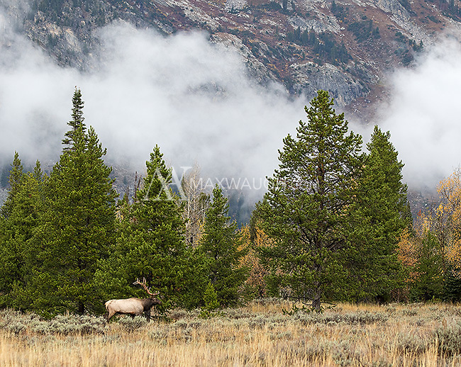 Autumn is a great time to photograph elk in the Grand Tetons.