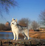 Siberian Husky<br />