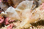 Anilao, Philippines; a single, white Leaf Scorpionfish (Taenianotus triacanthus) sitting perched on the coral reef