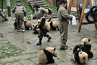 11 of 13 pandas born from mothers evacuated from Wolong Panda base in Sichuan after last year's devastating earthquake, wait for food in the panda  kindergarden at Bi Fengxia Panda Research Base in the mountains of Sichuan, China. Thirteen pandas in total were born from evacuated mothers were evacuated to the area which is famous for its rainfall and bad weather..