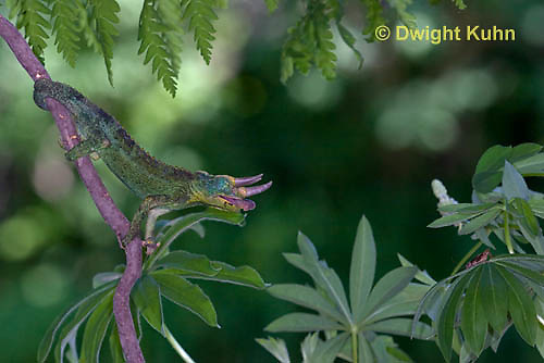 CH34-545z  Male Jackson's Chameleon or Three-horned Chameleon tongue flicking to catch insect prey, Chamaeleo jacksonii