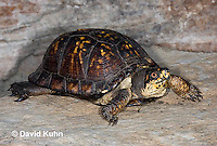 1002-0801  Male Eastern Box Turtle, Terrapene carolina © David Kuhn/Dwight Kuhn Photography.