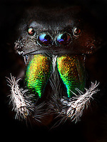 BNPS.co.uk (01202) 558833<br /> Picture: Tomas Rak<br /> <br /> Phidippus audax, a jumping spider by Tomas Rak<br /> <br /> New book uncovers the animal world in all its profusion and glory featuring an astounding cornucopia of astonishing life.<br /> <br /> An extraordinary new book reveals the weird and wonderful diversity of life on earth with a selection of stunning pictures of some of the lesser known creatures that inhabit the planet.<br /> <br /> Author Ross Kemp has travelled the globe photographing and researching some of the worlds wackiest animals, many to small to be seen by the human eye, for his new book Animal Earth.<br /> <br /> The book shows the bizarre lives of some of the most unknown and overlooked animals on the planet. Incredible photographs by some of the World's best macro photographers show the marine world in unprecedented detail. Some of the photographs reveal weird and wonderful organisms that have transparent skin, bold colours and some even appear to glow in the dark. <br /> <br /> The book, Animal Earth, costs &pound;29.95 from thamesandhudson.