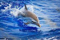 A baby pantropical spotted dolphin (Stenella attenuata) jumping near the Kona Coast, Big Island