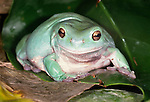 Australian green tree frog, Australia