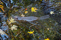 American Beaver (Castor canadensis) swimming in small beaver pond among fallen bigleaf maple tree leaves.  Pacific Northwest, October.