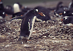 gentoo penguin with stone
