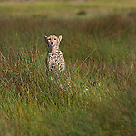 Cheetah (Acinonyx jubatus)in the grass in the Serengeti