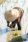 Planting Rice in Paddy