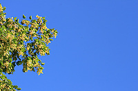 A linden tree in bloom.