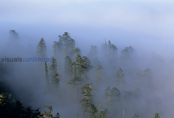 Redwoods in the fog so typical of their coastal habitat ,Sequoia sempervirens,, California, USA.