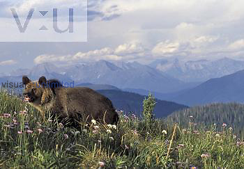 Grizzly Bear ,Ursus arctos, in an alpine meadow, Northwestern North America.