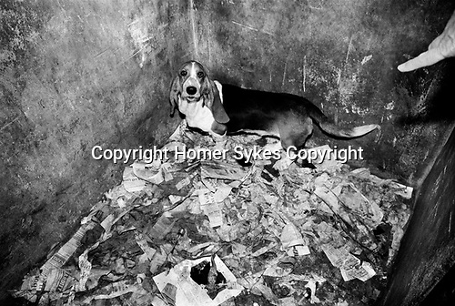 Puppy Farming Wales 1989. A Basset Hound bitch whose puppies have recently been taken away.