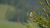 Red-backed Shrike (Lanius collurio), Alps, Italy