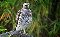 A Red-Shouldered Hawk at rest in Holly Hill, FL, May 20011.  (Photo by Brian Cleary/www.bcpix.com)
