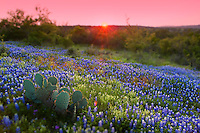 Beautiful sunset falls on a pasture of Spring Bluebonnets and prickly pear cactus in the Texas Hill Country, Llano County, Texas, USA
