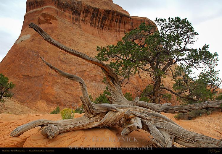 Dead Tree, Devil's Garden Area, Arches National Park, Moab, Utah