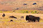 Bison, Lamar Valley, Yellowstone National Park, Wyoming