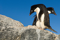 A pair of Adelie Penguins (Pygoscelis adeliae) bowing to each other, Cape Royds, Antarctica.