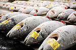 Large tuna are lined up for auction at the world's largest fish and marine products market in Tsukiji, Tokyo on Monday 30 March 2009.