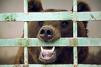 Azerbaijan. Shamakha Region. Shamakha. Caucasian brown bear in a cage. Animal behind bars. © 2007 Didier Ruef