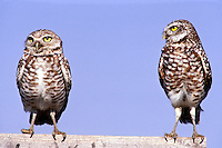 Two Burrowing owls, Athene cunicularia, standing, one stares at the other and one looks away