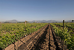 Chile Wine Country: Vineyards at Undurraga Winery, Vina Undurraga, near Santiago..Photo #: ch418-33887..Photo copyright Lee Foster, 510-549-2202, www.fostertravel.com, lee@fostertravel.com.