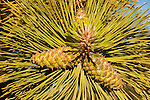 USA, Utah, ponderosa pine tree at Bryce Point in Bryce Canyon National Park.