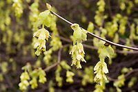 Corylopsis pauciflora AGM flowers in spring