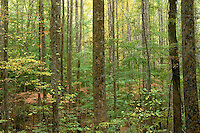 Forest - Smoky Mountains