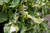 Variegated Horseradish with white and green variegated leaves.  (Armoracia rusticana 'Variegata'). Full variegation doesn't occur until the plant obtains some maturity.  When young they are a pale, full green.