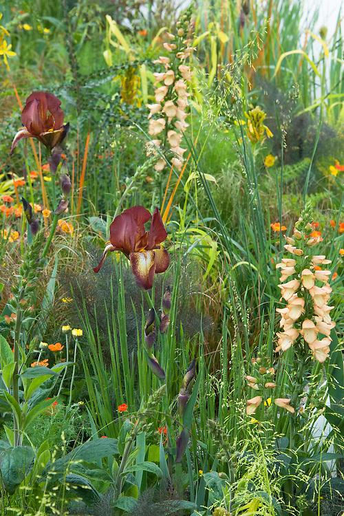 Pure Land Foundation Garden designed by Fernando Gonzalez, RHS Chelsea Flower Show 2015. Plants include: Digitalis 'Illumination Apricot', Iris germanica 'Kent Pride', Geum 'Fire Storm', Geum 'Lady Stratheden', Briza media 'Limouzi'.