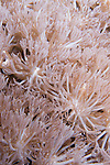 Anilao, Philippines; Flower Soft Coral (Xenia sp.)