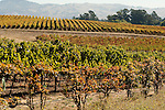 Carneros vineyards, Napa County, California