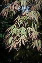 Acer palmatum 'Idenosato', late April.